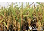 """水稻新品""""明登7號""""畝產800公斤 為農機化生產提供品種支撐"""