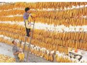 大豆玉米改为生产者补贴 那么玉米大豆套种该怎么领?