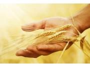 农业部发布会:2018年玉米、稻谷、小麦市场趋势分析