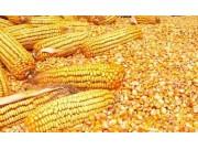 2019年玉米產需缺口擴大到3331萬噸!玉米價格能漲起來嗎?