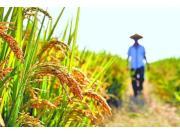國家公布2018年稻谷最低收購價格