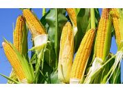 东北玉米 、大豆购销缘何冰火两重天  ?