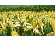 玉米价格上涨,你蠢蠢欲动了?注意!这几个信息太重要了