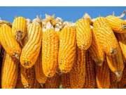 华北产区玉米价格缘何再次上涨?