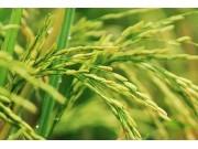 黑龙江:今年水稻面积调减150万亩 水稻休耕试点每亩补500元