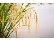 三省水稻调减计划出炉!种植户的新烦恼还是新机遇?