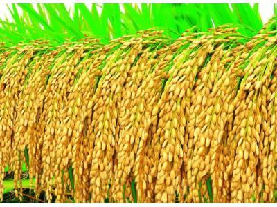 未来种植什么水稻才最好?来看专家怎么说
