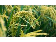 水稻全程机械化还要迈过几道坎