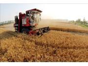 夏收小麦量价齐跌 产业链集体观望