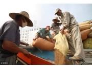 小麦收购:普遍减产20%~40%,价格一路上涨,可谓一天一个价!