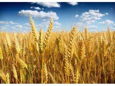 """2018年小麦最低收购价政策有""""八变"""""""