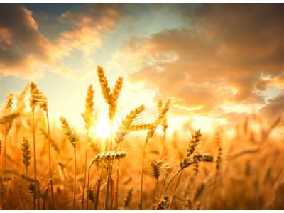 优质小麦需求旺 大豆市场悄然回暖