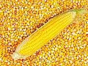 """国内玉米市场或迎来""""多事之秋"""""""