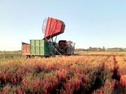 厉害了,这台辣椒收获机一个月作业5000亩,收益破百万