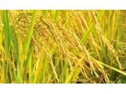 稻谷價格又下跌,今年的播種面積預計也要降