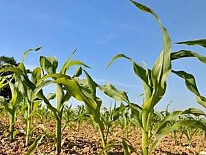 今年玉米种植面积调减,品质反而提升!近期玉米价格呈现怎样走势,幅度是大是小?