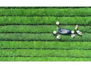 疫情倒逼茶產業加速機械化智能化