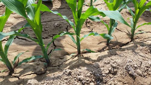 大华宝来2BYF系列勺轮式玉米精量播种机出苗效果图
