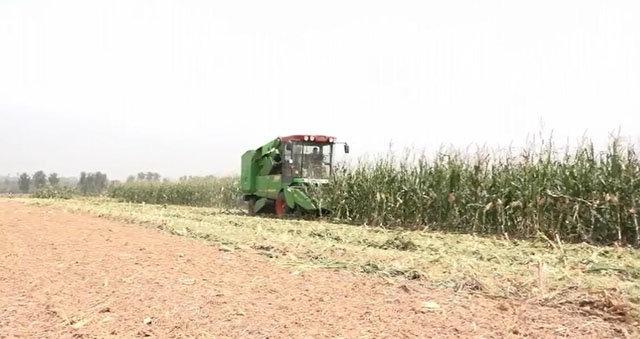 中國收獲4YZ-6F自走式玉米收獲機作業場景