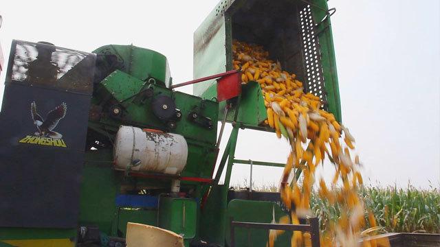 中國收獲4YZ-3F1自走式玉米收獲機作業場景