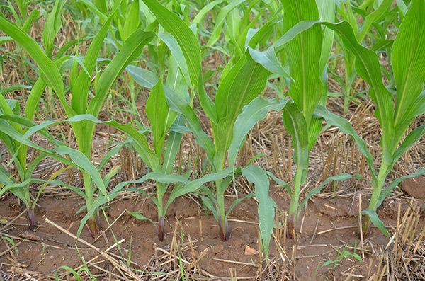 大華寶來2BMYFC系列玉米清茬免耕施肥精量播種機