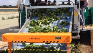 专用于小白菜 上海青 生菜 菠菜的9500蔬菜收获机作业视频