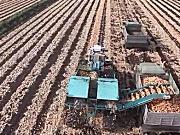 纽约农场机械化收获洋葱全过程-作业视频