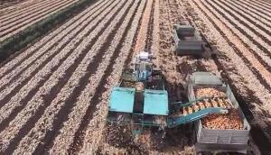 紐約農場機械化收獲洋蔥全過程-作業視頻