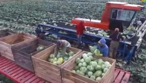 BMW農場卷心菜收獲現場-作業視頻
