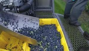 Haven公司藍莓收獲機作業視頻