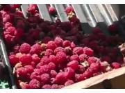 Jovaras公司牵引式蓝莓收获机作业视频