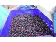 阿尔斯波Saskatoon浆果收获机作业视频