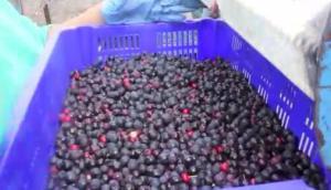 阿爾斯波Saskatoon漿果收獲機作業視頻