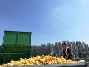 山東金大豐玉米收獲機演示會